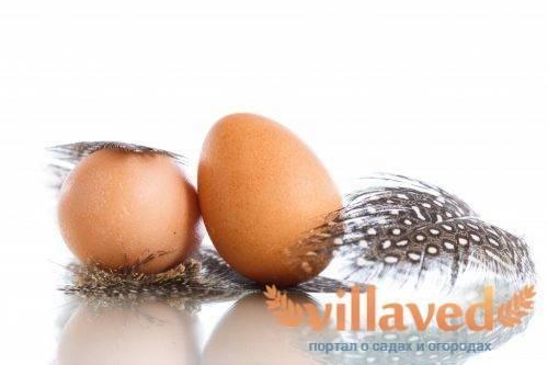 Сколько дней цесарки сидят на яйцах