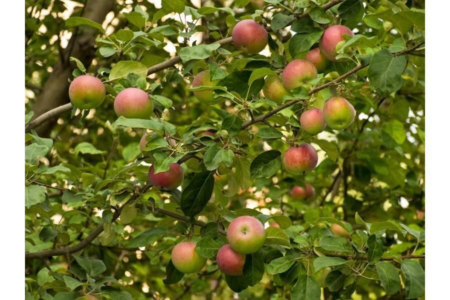 Сорт яблони малюха: характеристика и особенности выращивания