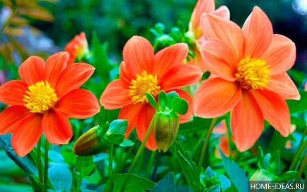 Все о посадке георгин однолетних: как выращивать, правильный уход за растениями