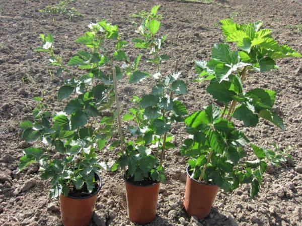 Тонкости посадки ежевики: правила ухода и подготовки почвы для ежевики