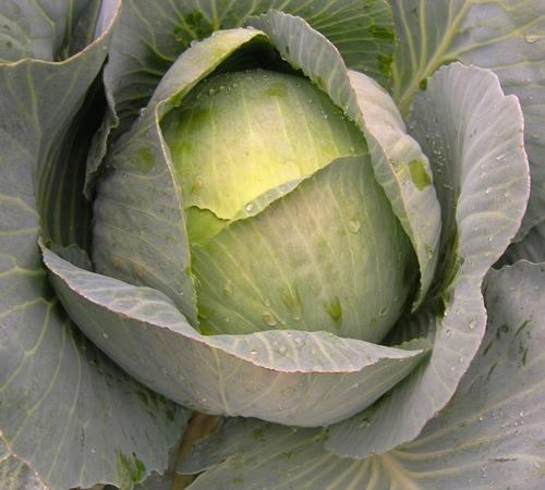 Как посадить капусту в открытый грунт - секреты ухода и выращивания