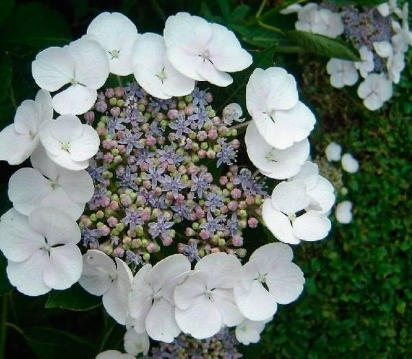 Подкормка гортензии метельчатой: весной, летом, осенью