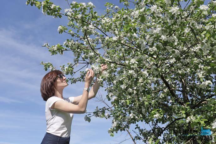 Нужно ли обрывать цветы у яблони в первый год цветения?