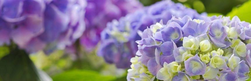 Пересадка гортензии на другой участок весной и осенью