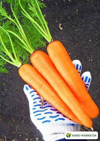 Морковь лосиноостровская — описание сорта и выращивания
