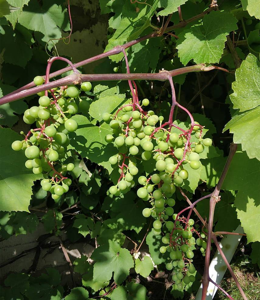 Проводим зеленую обрезку винограда летом