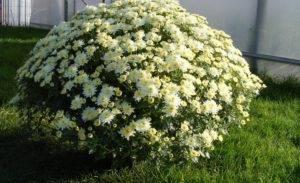 Хризантема шаровидная – 3500 оттенков цвета на садовом участке