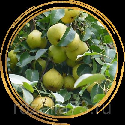 Сладкая и полезная груша для средней полосы рф — сорт «любимица яковлева»