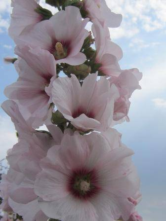 Мальва многолетняя – посадка и особенности выращивания