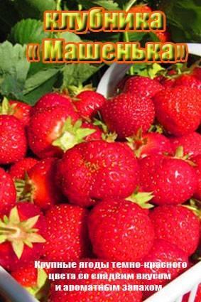 Клубника «машенька»: характеристика сорта и агротехника выращивания