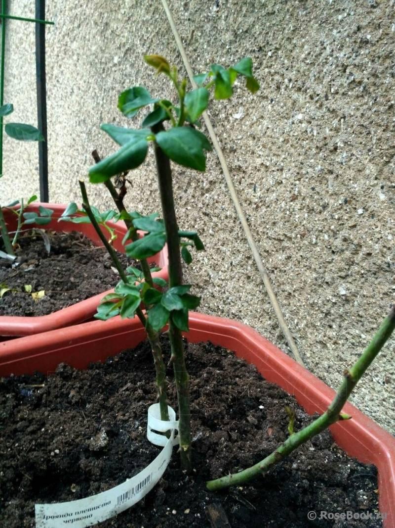Роза дала росток в вазе: как посадить молодые побеги, как из них сделать черенки, если пустила корни, что нужно, чтобы повысить шанс на выживание покупных цветов?