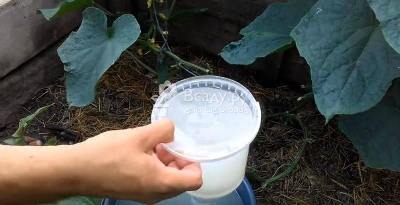 Как проводить внекорневую подкормку огурцов: сроки и виды удобрений
