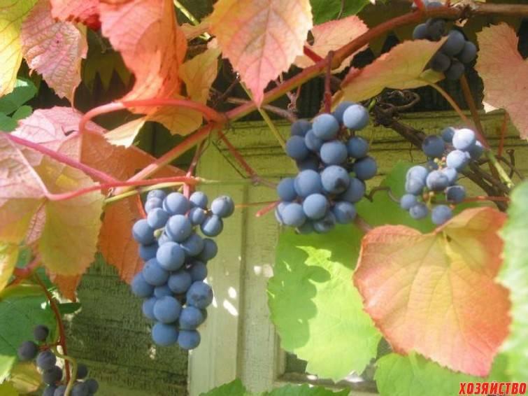 Описание сортов винограда для сибири