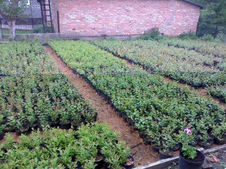 Садовая клюква – выращивание без хлопот
