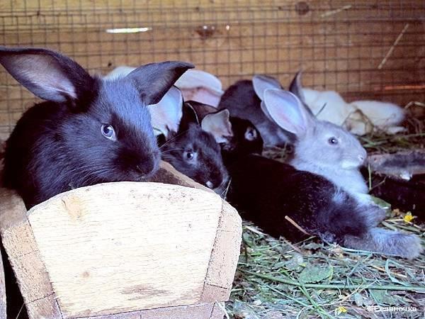 Иван-чай в хозяйстве: можно ли давать траву кроликам?