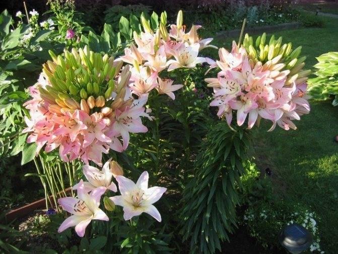 Всё о лилиях: сорта, посадка, уход и выращивание в домашних условиях :: инфониак