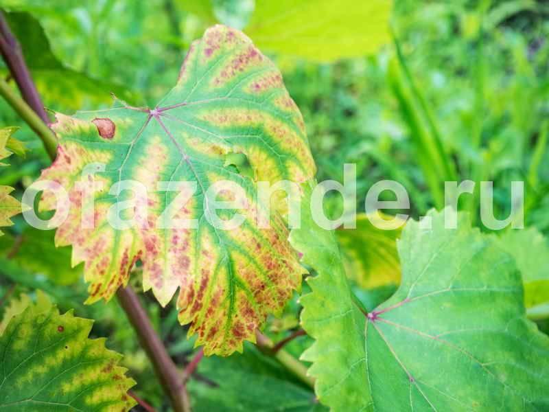 Как защитить виноград от ос во время его созревания