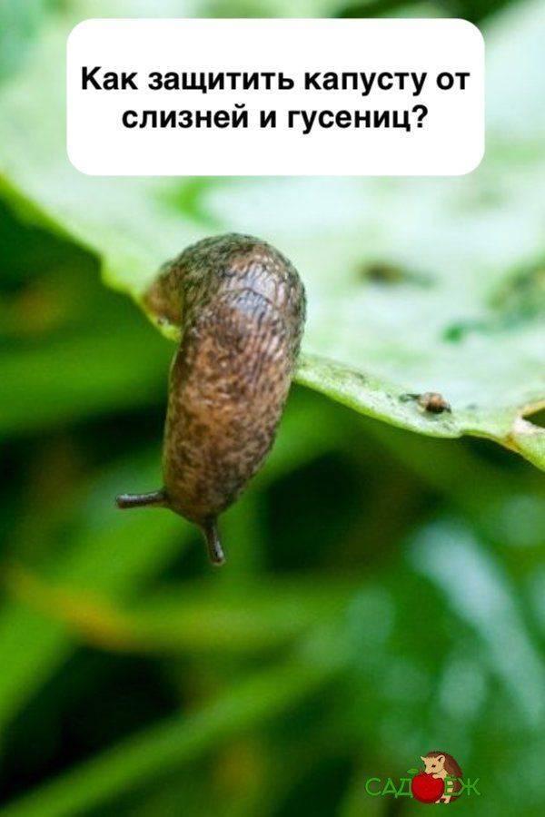 Вредители капусты: как уберечь и чем обработать капусту от насекомых и зайцев