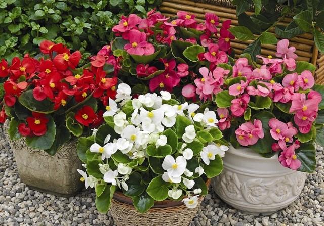 Посадка и уход за бегонией уличной, фото рассады, клубней, цветущего растения