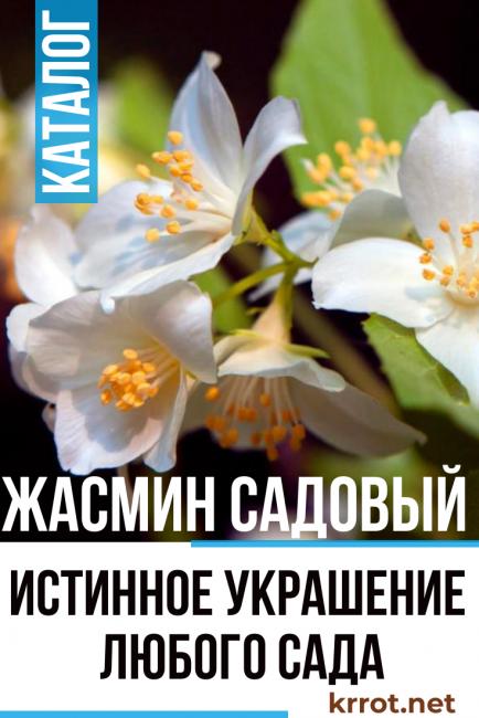 Посадка и уход за жасмином (27 фото): как рассадить кустарник? когда сажать? как пересадить? как вырастить из ветки? обрезка после цветения