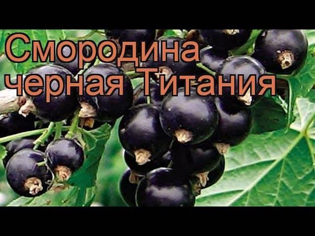 Смородина литвиновская