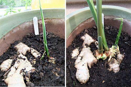 Выращивание имбиря в домашних условиях: секреты и правила