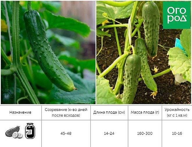 Партенокарпические и самоопыляемые сорта огурцов для небывалого урожая – мифы и правда