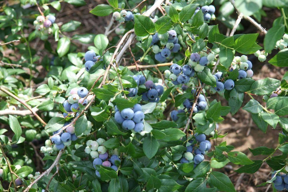 Растение голубика садовая: описание сортов и фото, выращивание и уход