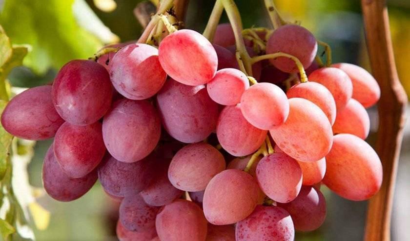 общем пожалели, виноград браза сорта фото отзывы модель прикрывает