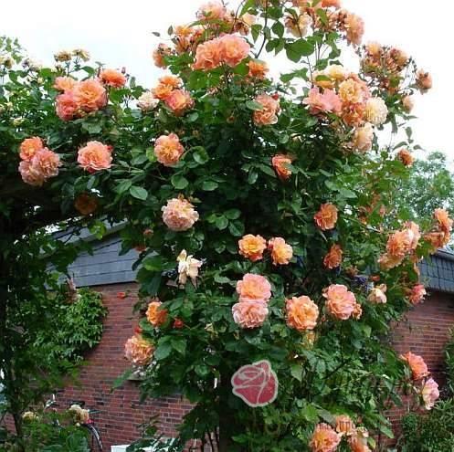 Плетистые розы цветущие все лето сорта зимостойкие   красивый дом и сад