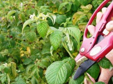 Чем опрыскивать малину весной от вредителей и болезней?
