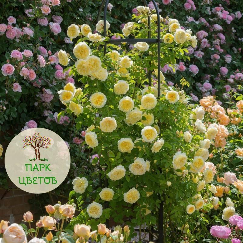 О кустарниковой розе Пилигрим (The Pilgrim): характеристика сорта розы Остина