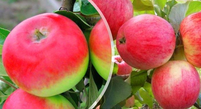 Особенности выращивание и ухода за яблоней сорта женева