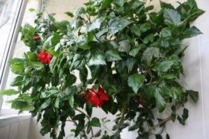 Подарили китайскую розу.... - китайская роза цветок смерти - запись пользователя аня (branitskay) в сообществе цветоводство в категории розы - babyblog.ru
