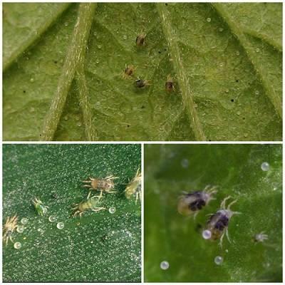 О паутинном клеще на огурцах: как выглядит, чем опрыскивать, чтобы избавиться