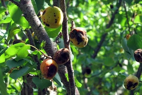 Обработать абрикос