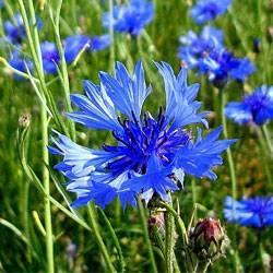 Цветок василек описание василек синий применение василек луговой