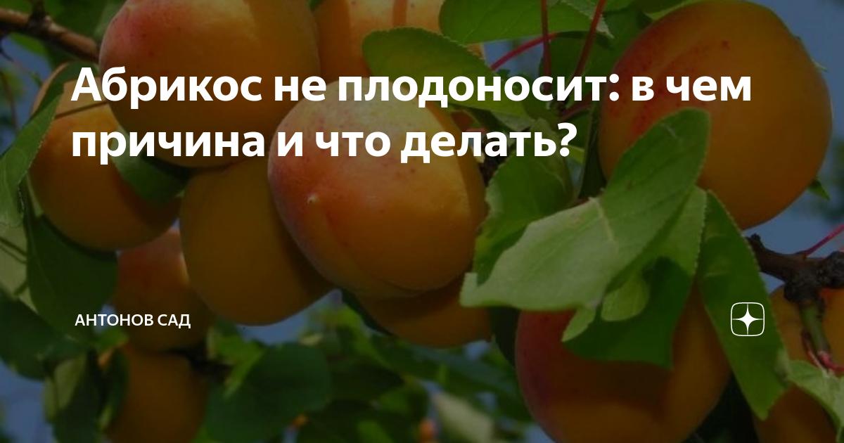 Почему не плодоносит абрикос – 10 причин и меры профилактики проблемы