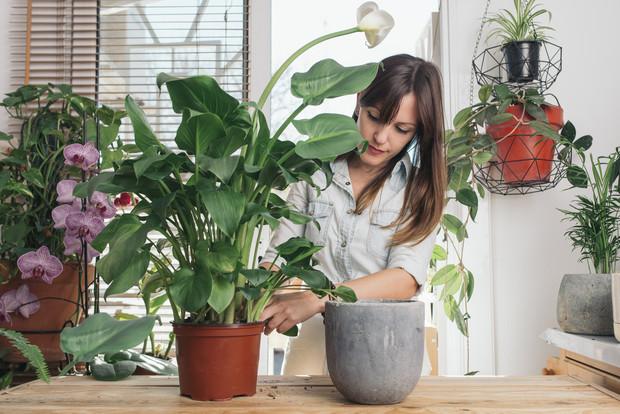 Кислица фиолетовая (35 фото): уход в домашних условиях и правила размножения треугольного оксалиса. что делать, если листья вянут?