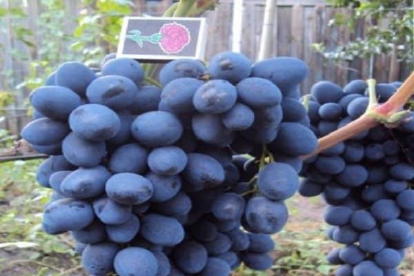 Простой уход, отличный иммунитет и универсальность — виноград сфинкс