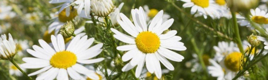 Ромашка — садовая красавица с полезными свойствами