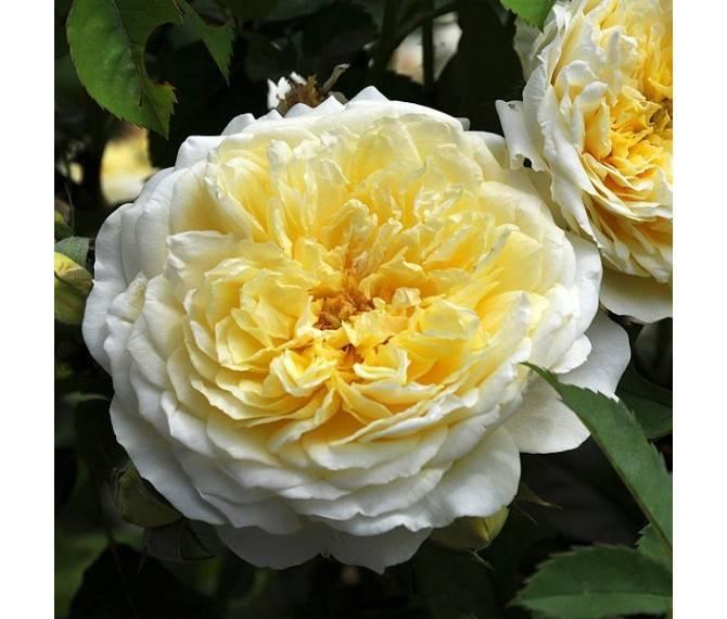 Описание английской плетистой розы харкнесса сорта пенни лейн: основы выращивания