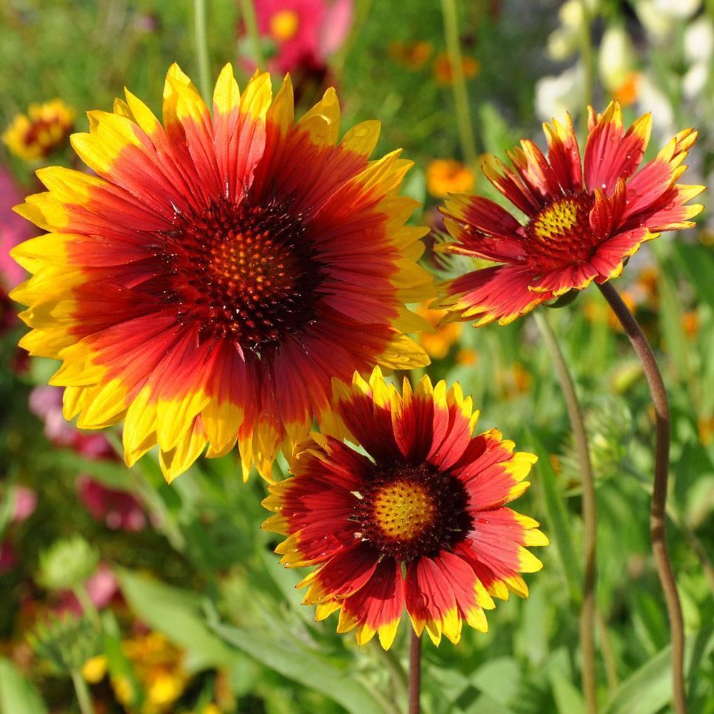 Гайлардия многолетняя: описание, выращивание из семян, посадка в открытый грунт и уход (45+ фото & видео) +отзывы