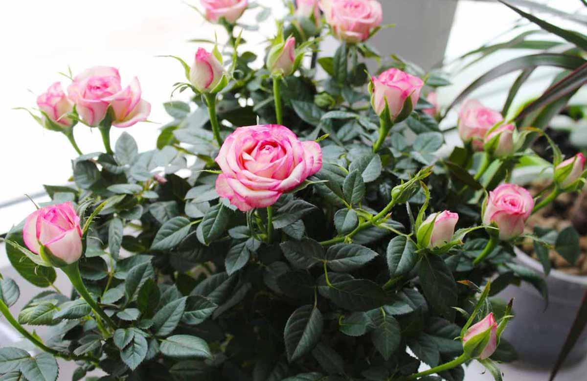 Роза кордана микс — уход в домашних условиях после магазина и можно ли высаживать в открытый грунт?