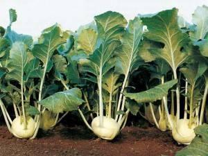 Капуста кольраби - выращивание в открытом грунте