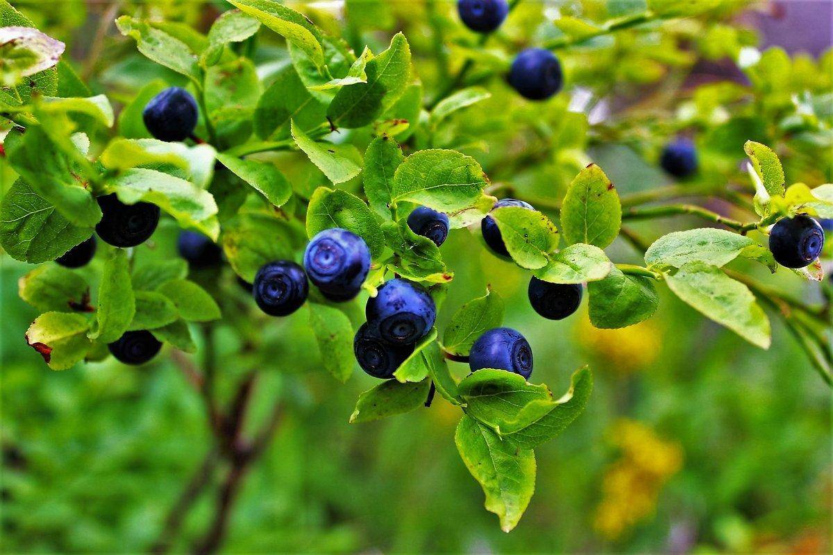 Черника — выращивание и полезные свойства