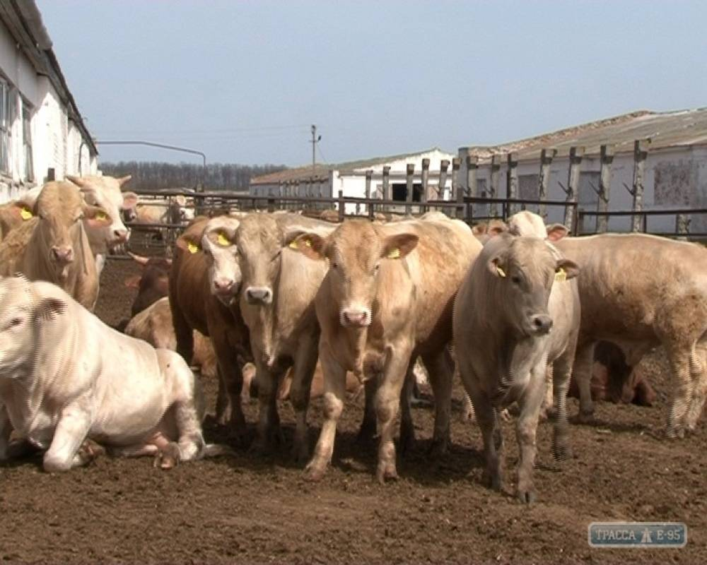 Крупный рогатый скот | энциклопедия кругосвет