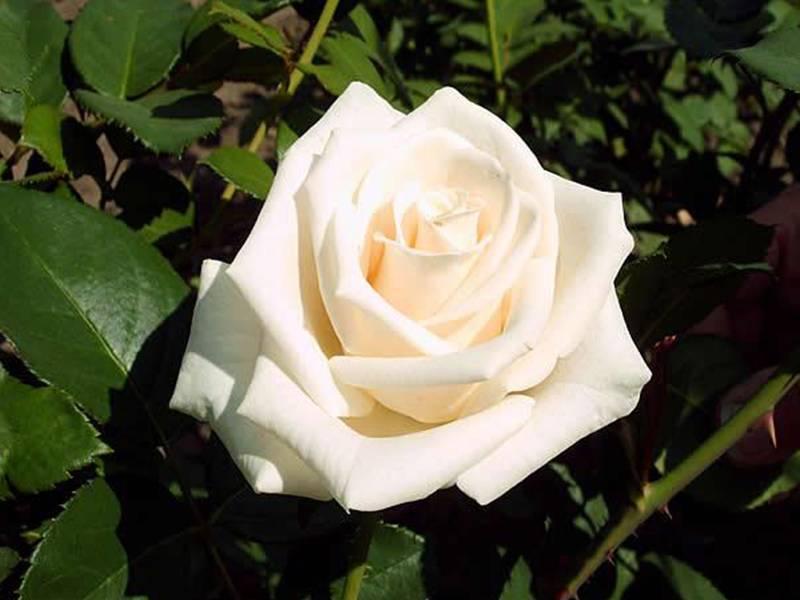 Роза новалис (novalis) — описание сорта необычной окраски