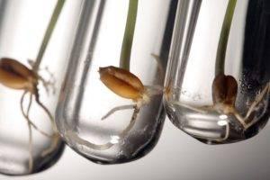 В чём и как замочить семена перца перед посадкой правильно