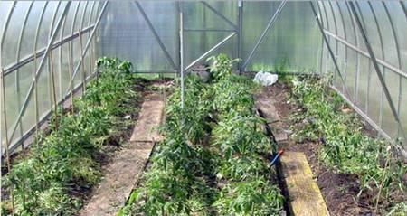 Как правильно сажать томаты в теплице: оптимальные сроки и схемы посадки
